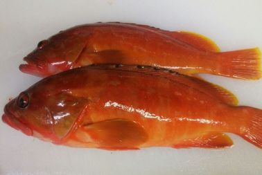 9.8赤アコウ煮物